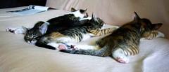 Flat sleeping (DomiKetu) Tags: sleeping cats cute nature animal animals cat chats kittens gatto gatti chatons expressyourself bestofcats flickraward favoritecatmoment