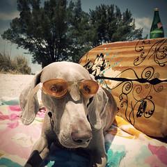 lost & found treasures (saikiishiki) Tags: dog cute love beach dogs puppy square de for eyes sand friend florida sweet fort goggles adorable weimaraner kawaii ft weeks soto desoto dogbeach 52 2010 weim mukha 2452 thelittledoglaughed 52weeksofmukha actionbywoahthankyou