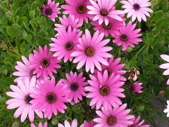 pink dasies (caligula1995) Tags: pink daisy