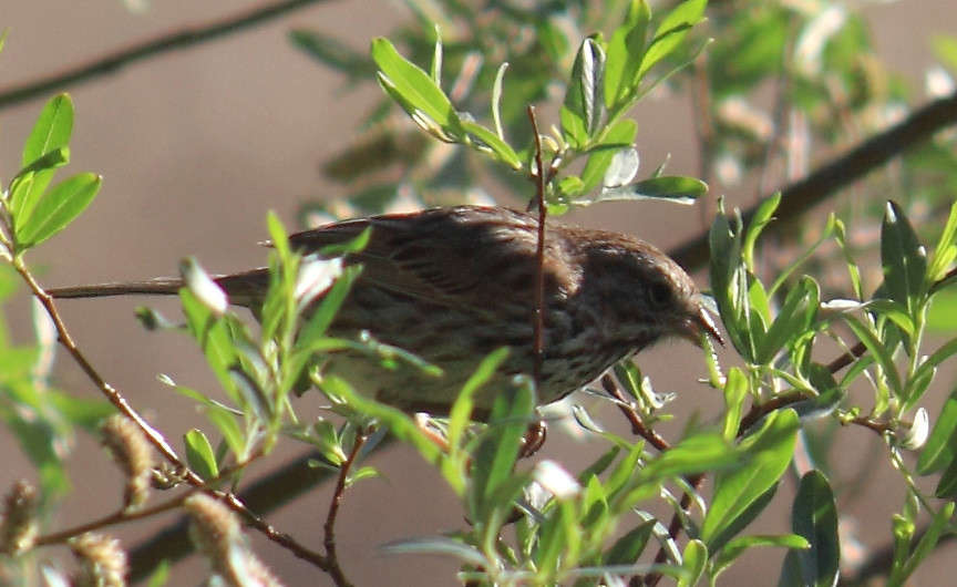 song sparrow with caterpillar
