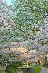 Streamlet under Sakura trees..Philosopher's Walk...Kyoto...Japan (Hopeisland) Tags: road street old pink flowers plant tree nature japan cherry spring kyoto walk blossoms april sakura cherryblossoms 2010 philosophers philosopherswalk       4