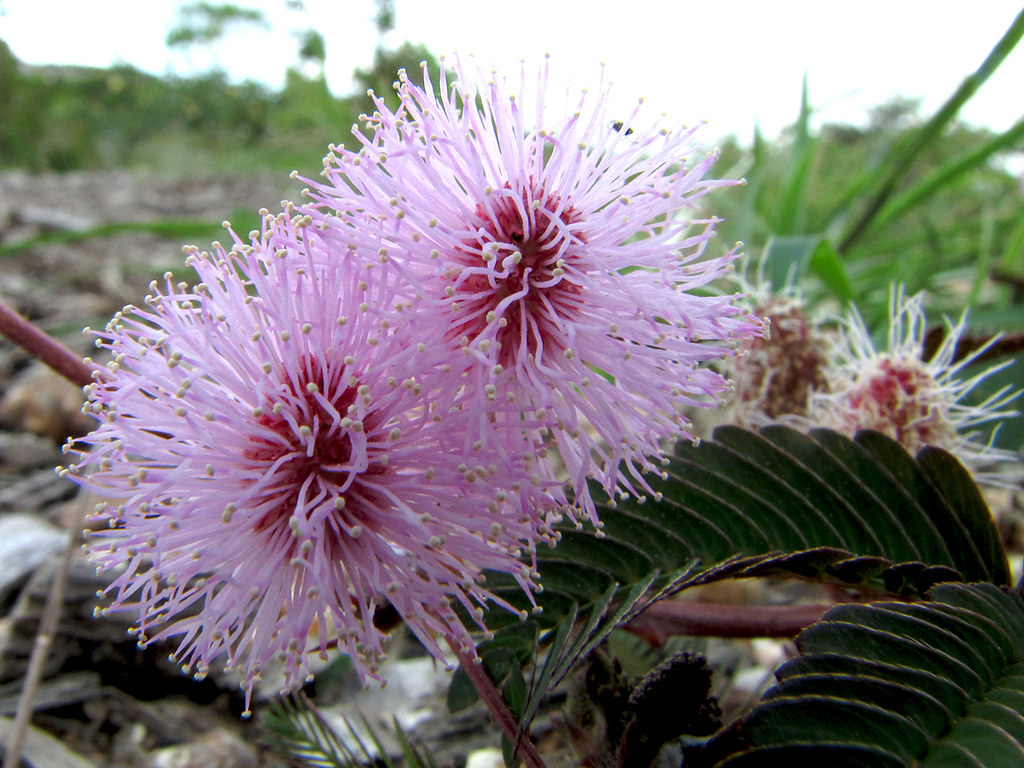 Flowers of the COMMON SENSITIVE WEED  Mimosa pudica  Giant Form (Mimosa diplotricha) - CATTANA WETLANDS (Cairns)