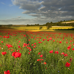 Dorset (peterspencer49) Tags: england clouds dorset poppy poppies poppyfields flax 5dmkll peterspencer peterspencer49