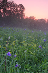 Powderhorn Prairie, Cook County, Illinois (mastodont) Tags: morning mist chicago illinois native prairie wildflower spiderwort goldenalexanders cookcountyforestpreserve calumetregion illinoisnaturepreserve