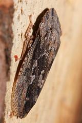 Very large flat-headed hopper (kasia-aus) Tags: tree nature insect australia bark canberra hopper act leafhopper melba 2010 flatheadedhopper