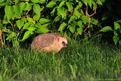 The Hedgehog returns (nikkorglass) Tags: sunset nikon sweden july hedgehog juli nikkor 70200 f28 2010 solnedgng igelkott nikkorglass d700