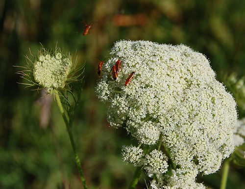 sex mad beetles on carrot flowers