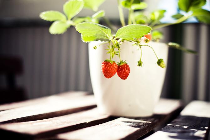 balcony strawberries!