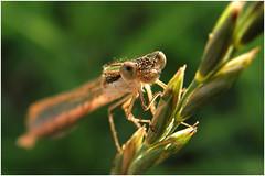 in sunlight - napfnyben (Viktor Cseh) Tags: sunlight macro sunshine animal bug little rovar bogr makr