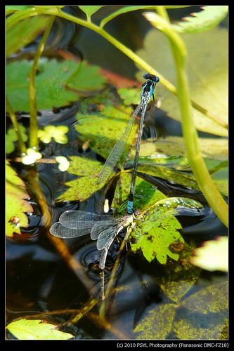 Unidentified Spreadwings (Lestes spp.)