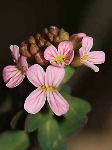Aethionema saxatile ssp. graecum