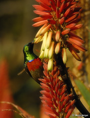 Sunbird male on Krantz Aloe flowers (Martin_Heigan) Tags: camera flowers winter flower bird nature sunshine birds digital southafrica succulent nikon dof martin bokeh metallic feathers sunny double photograph greater d200 dslr iridescence collared afra sunbird plumage suidafrika winterflowers aloearborescens blomme sunbirds suikerbekkie heigan cinnyris 70300mmf4556gvr sonskyn aalwyn vetplante wsnbg mhsetbirds mhsetwildlife mhsetbokeh krantzaloe suikerbekkies 3july2010 winterblomme