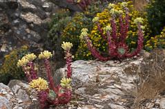Dudleya farinosa (Eric Hunt.) Tags: california red flower yellow succulent inflorescence ptreyesnationalseashore dudleya sealettuce abbottslagoon glaucous dudleyafarinosa lithophytic lithophyte