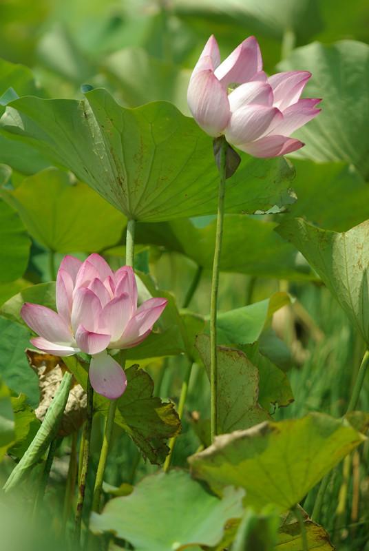20100711新屋蓮花