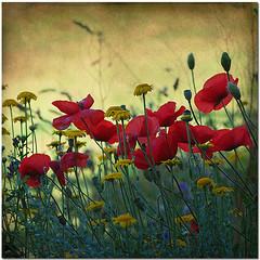 Summers Vacation (pixel_unikat) Tags: flowers red summer plant yellow austria blossom meadow poppy summertime textured 500x500 thankstoskeletalmessfortexture updatecollection