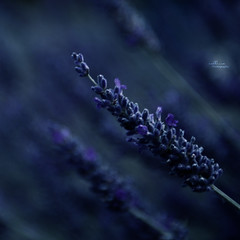 """193: """"Waiting for the night to Fall"""" (Callissa) Tags: plant flower night purple bokeh lavender monday herb dakr 365project callissacaffull"""