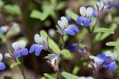 IMG_9501 (peter_r) Tags: blue white sticky wildflower trichome scrophularaceae collinsiarattanii stickyblueeyedmary