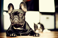 . (susilalala) Tags: dog 50mm frenchbulldog 50 conchita nuka bulldogfrances