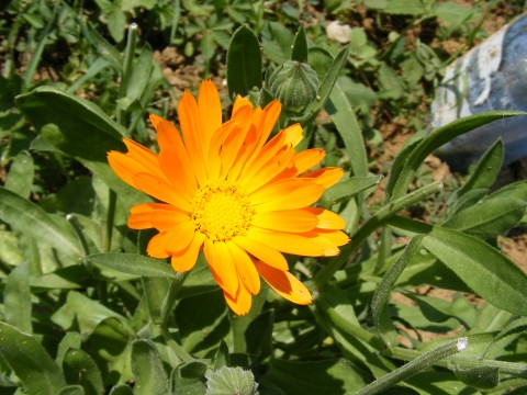 Photo: Pot Marigold