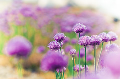 Purple Sea (christian.senger) Tags: flowers green nature beauty digital germany geotagged nikon europe soft dof purple blossom ulm lightroom d300 fantasticflower christian_senger:year=2010