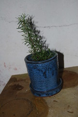 Rosmarinus officinalis [Rosemary] Bonsai (no.2) (Xtolord) Tags: bonsai potensai xtolord