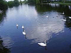 stratford swans 066
