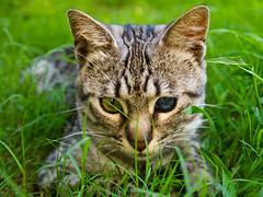 Un anno insieme (Topyti) Tags: cat fly gatto soriano trovatello razzaeuropea trovatonelparcheggiodelsupermercato