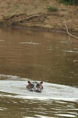 7b. Hippo in Mara River