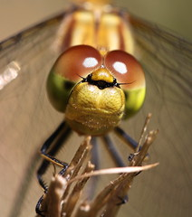 dragonsmile (bugman11) Tags: macro nature animals fauna canon bug insect eyes dragonflies dragonfly nederland thenetherlands insects bugs 1001nights ineffable greatphotographers thegalaxy platinumheartaward flickrestrellas doublyniceshot 100mm28lmacro 1001nightsmagiccity mygearandmepremium mygearandmebronze mygearandmesilver mygearandmegold greaterphotographers greatestphotographers allnaturesparadise me2youphotographylevel1 unlimitedinsectslevel1 vigilantphotographersunite vpu2 vpu3 vpu4 vpu5 vpu6 vpu7 vpu8 vpu9 infinitexposure