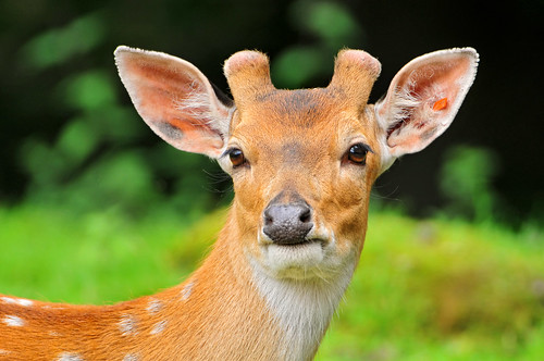 Portrait of a young deer by Tambako the Jaguar, on Flickr