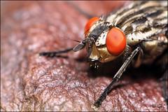 Mouche aux yeux rouges (Haentjens Raphal - Macropixels) Tags: macro nature bug insect belgique bugs flies insecte diptera flie macrophotographie diptre dipterous macrolife