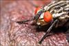 Mouche aux yeux rouges (Haentjens Raphaël - Macropixels) Tags: macro nature bug insect belgique bugs flies insecte diptera flie macrophotographie diptère dipterous macrolife