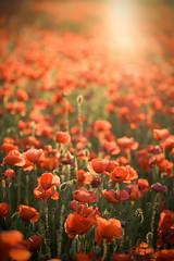 Poppy field (Daltonia*) Tags: rojo plantas amapolas hierbas campodeamapolas ruderales