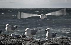 Flat out .... (e0nn) Tags: ocean seagulls beach waves pentax gulls k200d