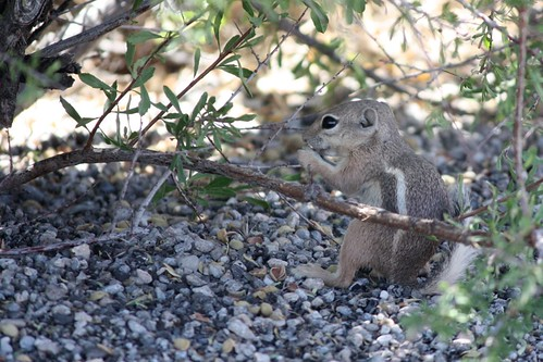 White-tailed antelope squirrels