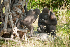 2010-07-18-10h22m33.272P3344 (A.J. Haverkamp) Tags: zoo rotterdam blijdorp gorilla dierentuin diergaardeblijdorp westelijkelaaglandgorilla nasibu tuena httpwwwdiergaardeblijdorpnl canonef100400mmf4556lisusmlens pobrotterdamthenetherlands pobfrankfurtgermany dob10042009 dob01042007