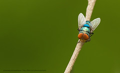 Some fly... (Sandeep Somasekharan) Tags: blue red macro green insect fly nikon colorful bokeh sandy nikkor onastick unidentified 300mmf4 d300s sandeepsomasekharan sandyclix