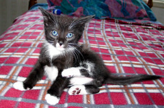 Foster Kitten Stevie (whaas987) Tags: cat kitten cutekitten beautifulkitten tuxiedo