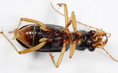 Tetracha virginica (cotinis) Tags: insect beetle northcarolina piedmont tigerbeetle coleoptera carabidae canonefs60mmf28macrousm megacephalavirginica megacephala tetracha tetrachavirginica virginiametallictigerbeetle