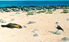 Seal & Boobi (PeterWard78) Tags: blue sea bird beach southamerica nature animals mammal ecuador rocks seal boobi thegalpagosislands