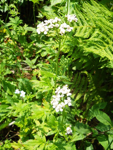 Large-leaved Yarrow
