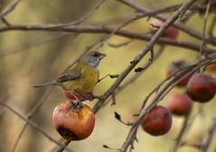 Comiendo manzanas (Bystander>) Tags: chile ave apples pjaro manzanas avesdechile cometocino pintouble
