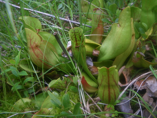 Pitcher plants in alpine bog