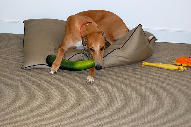 greyhound vs. zucchini