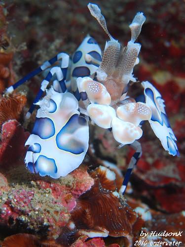 釉彩臘膜蝦-小藍(3)