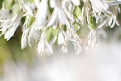 Summer days (FrecKles:)) Tags: summer white hot flower branco garden day flor clarity dia jardim vero calor claridade