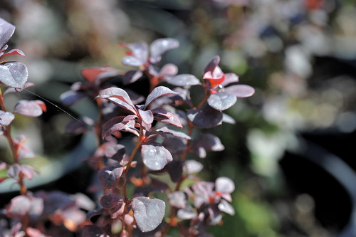 Japanse zuurbes 'Atropurpurea'