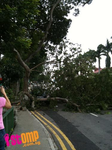 Fallen tree along Macpherson Road blocked morning traffic