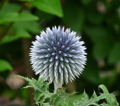 Spikey (coxy2001) Tags: flowers panasonic spikey globethistle echinops dmcfz28 mygearandmepremium mygearandmebronze mygearandmesilver