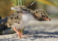 Baby Tern Hop (NY_Girl) Tags: beach flight commontern sternahirundo sigma120400mmf4556dgapooshsm